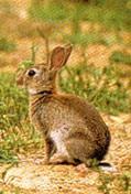 Le lapin de garenne - Cuisiner un lapin de garenne ...