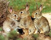 Le lapin de garenne - Cuisiner le lapin de garenne ...